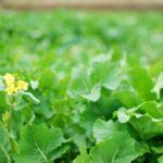 「水かけ菜」の収穫を体験!