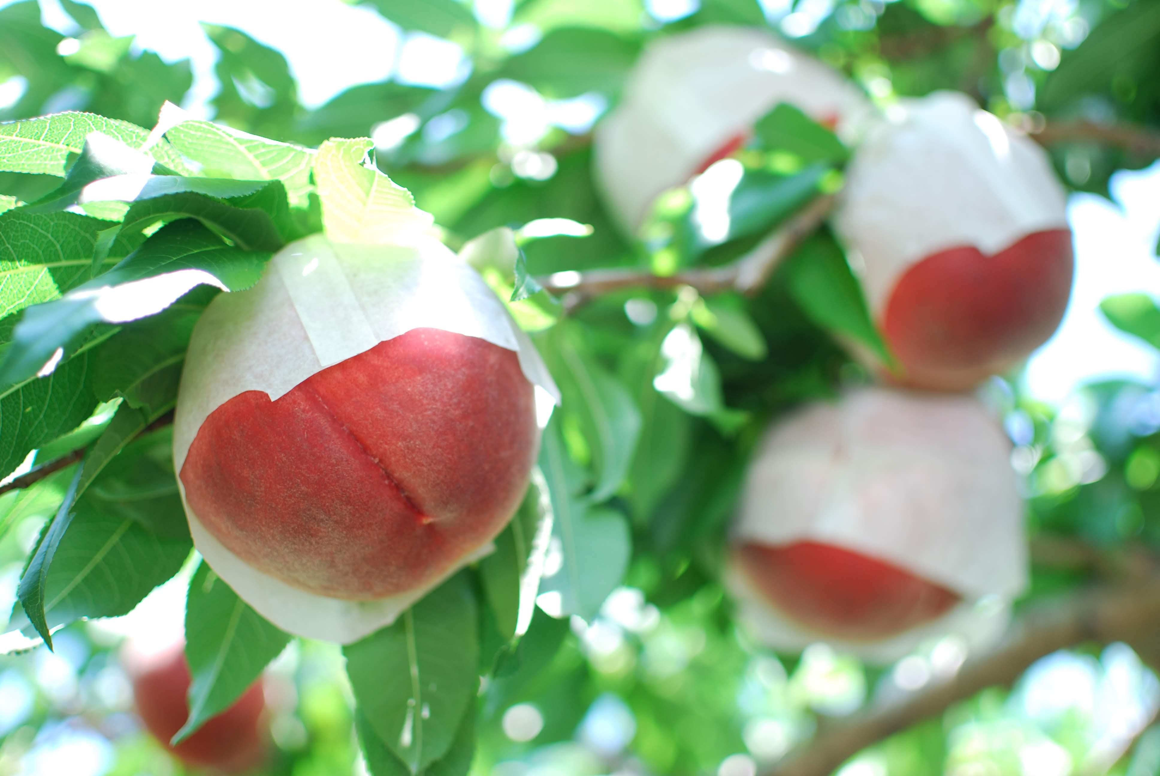 山梨の恵み。白桃のデニッシュ🍑
